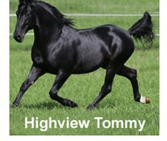 Highview Tommy